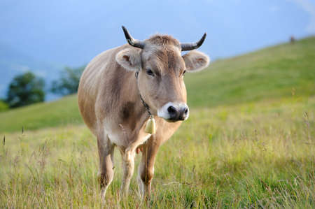 Cows on a summer meadow in mountains photo
