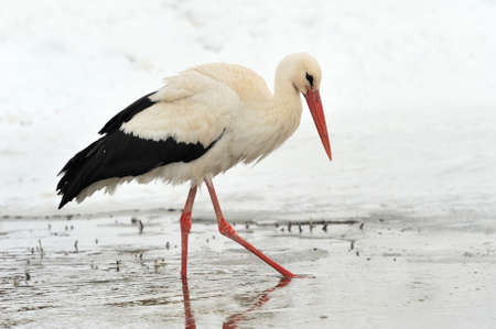 ciconiiformes: Beautiful stork at the park outdoors Stock Photo