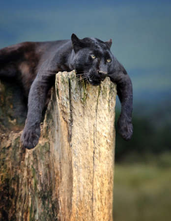 black leopard: Young black leopard sitting on a tree trunk in the background of Savannah