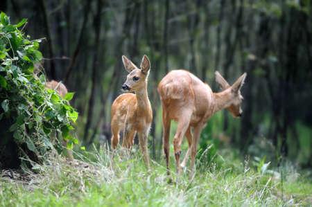 herd deer: Young deer in summer forest