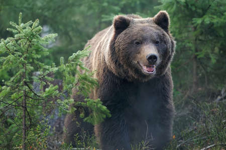 grizzly bear: Bear in forest