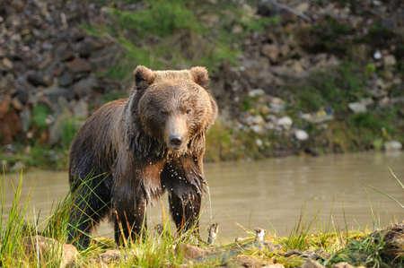 bear lake: A brown bear in the lake Stock Photo