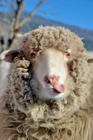 likable: Funny sheep Stock Photo