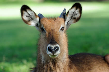 adult kenya: Male of Waterbuck Standing on the grass