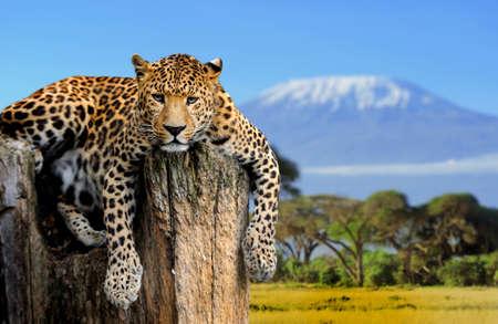キリマンジャロ山の背景の木の上に座ってヒョウ