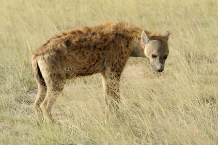 Spotted Hyena (Crocuta crocuta) in the park photo