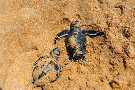 baby turtle: Baby turtles moving towards the ocean