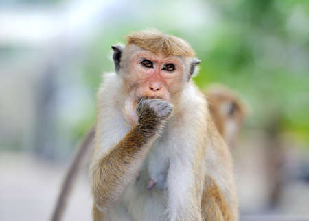Monkey in the living nature. Country Of Sri Lanka photo