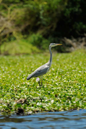 herodias: Great Blue Heron (Ardea Herodias)