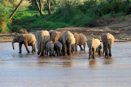 A herd of African elephants drinking at a waterhole lifting their trunks at the same time photo