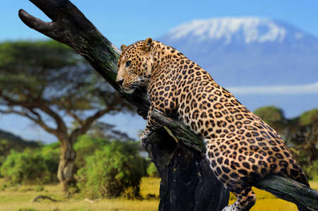 leopard fur: Leopard sitting on a branch on a background of Mount Kilimanjaro