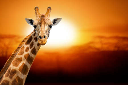 animales safari: Jirafa en la puesta del sol, parque nacional de Amboseli Kenia