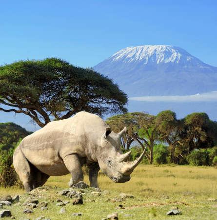 Rhino en face de la montagne Kilimanjaro - Parc National d'Amboseli au Kenya