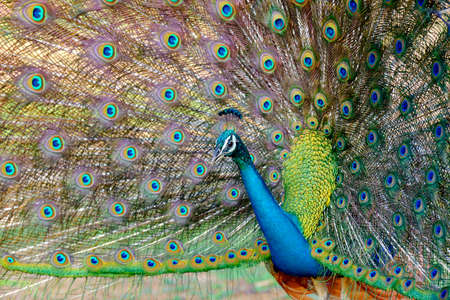 Portrait of beautiful peacock with feathers out photo