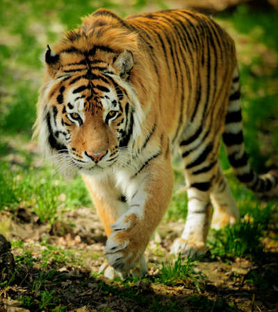Amur Tigers on a geass in summer day Stock Photo