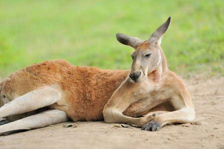 Kangaroo 写真素材