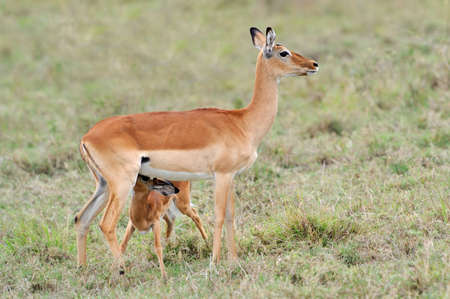 mother and baby deer: Impala young suckling from its mother on the grassland in Africa