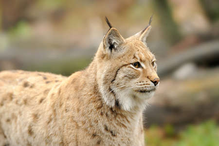 captivated: Close-up portrait of an Eurasian Lynx in forest