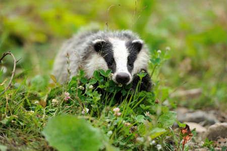 Badger vicino alla sua tana nella foresta Archivio Fotografico