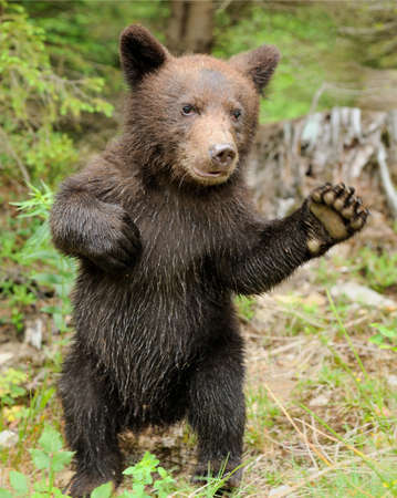 two animals: Brown bear cub in a forest Stock Photo