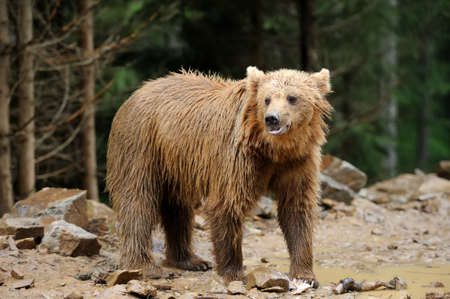Brown bear in forest after rain photo