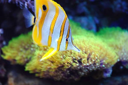 chelmon: Photo of a tropical fish on a coral reef