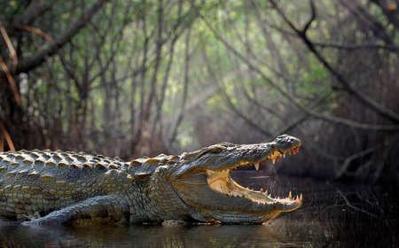 cocodrilo: Gran cocodrilo, el Parque Nacional, Sri Lanka Foto de archivo