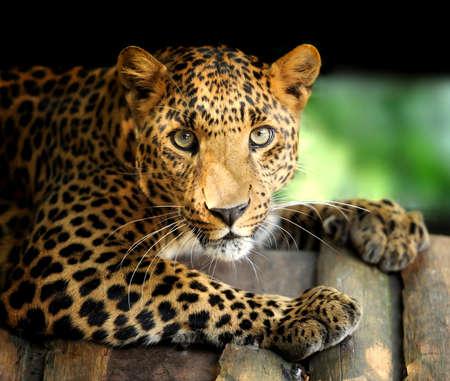 leopard cat: Leopard Stock Photo