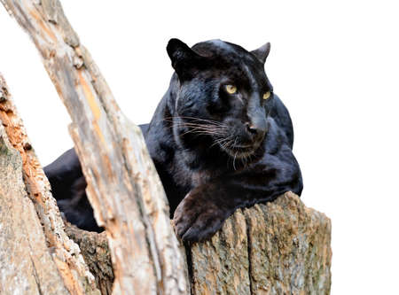 black leopard: Black leopard isolated on white background