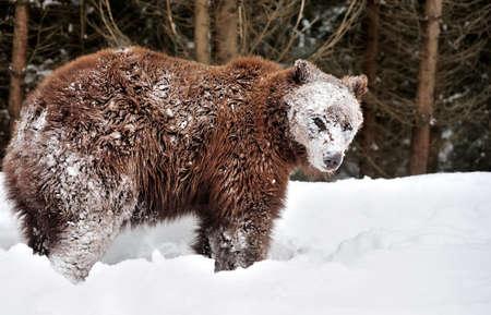 oso: Oso marr�n salvaje en el bosque de invierno Foto de archivo
