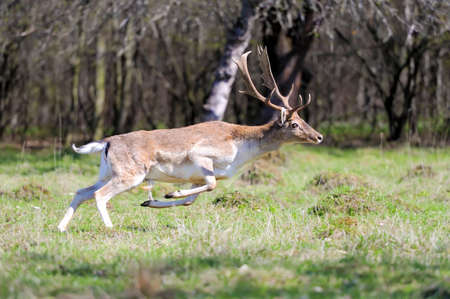 fallow deer: Fallow deer run on spring meadow