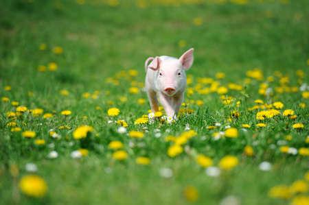Junge Schweine auf einem grünen Gras Frühjahr Standard-Bild - 37413611
