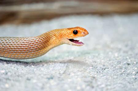 orange snake: Young orange snake on a sand