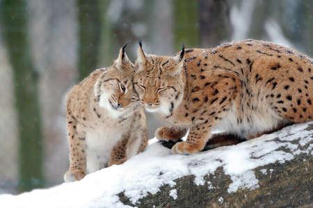 Schöne wilde Luchse in Wintertag Standard-Bild - 37413519