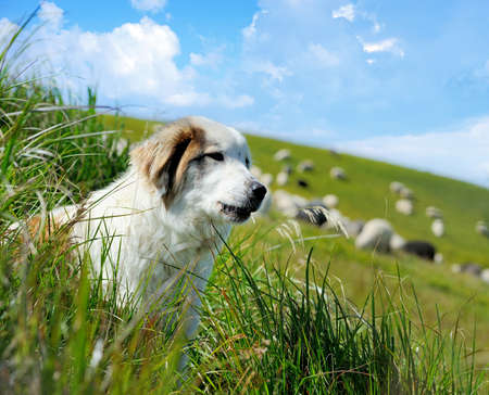 guarding: Sheepdog guarding a flock of sheep herd