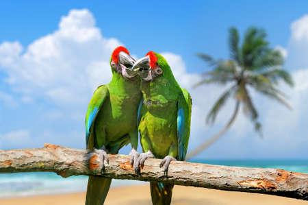 loro: Loro (Macaw severo) en la playa de arena blanca azul cielo blanco