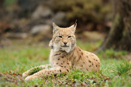 captivated: Young lynx Stock Photo