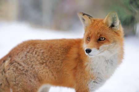 冬時間で赤狐 (ホンドギツネ キツネ属) 写真素材