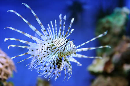 A lionfish swiming over seagrass photo