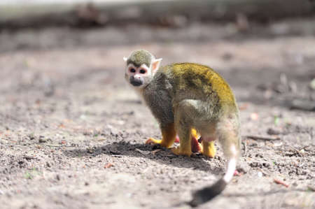 squirrel monkey: Close-up of a Common Squirrel Monkey