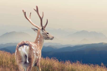 whitetail: Whitetail Deer standing in autumn mountain Stock Photo