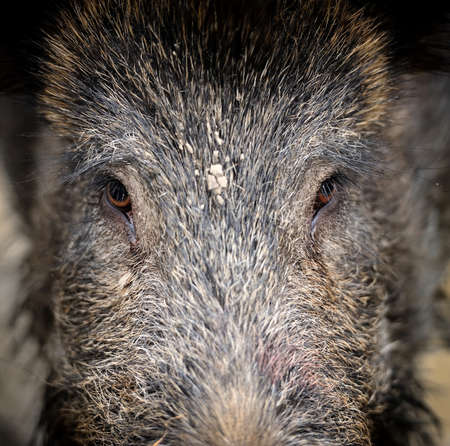 hunted: Wild boar in autumn forest Stock Photo