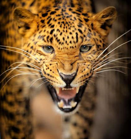 jungle safari: Leopard Stock Photo