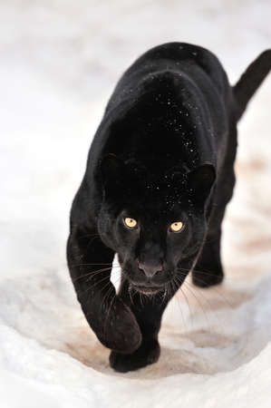 black and white panther: Beautiful leopard on snow