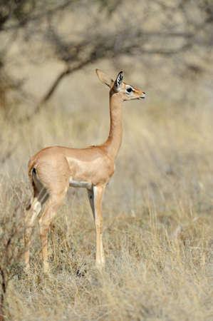 Gerenuk in Samburu National Park in Northern Kenya photo