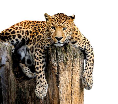 pardus: Leopard, Panthera pardus, on white background