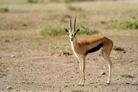 tanzania antelope: Thomsons gazelle on savanna in Africa Stock Photo
