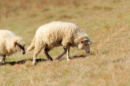 Sheep on a autumn field photo