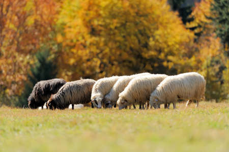flock of sheep: Flock sheep on a autumn field 写真素材