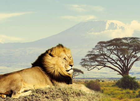 Lion on savanna landscape background and Mount Kilimanjaro